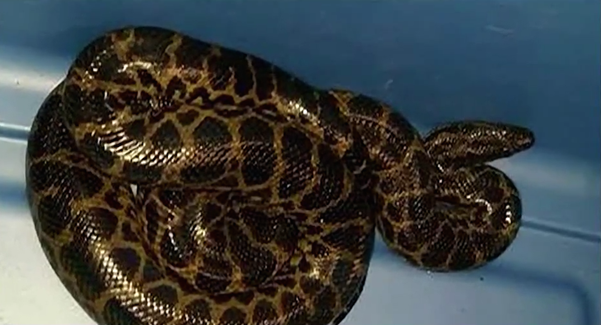 A Texas boy found a rattlesnake in a toilet. Then a snake catcher found 23 more.