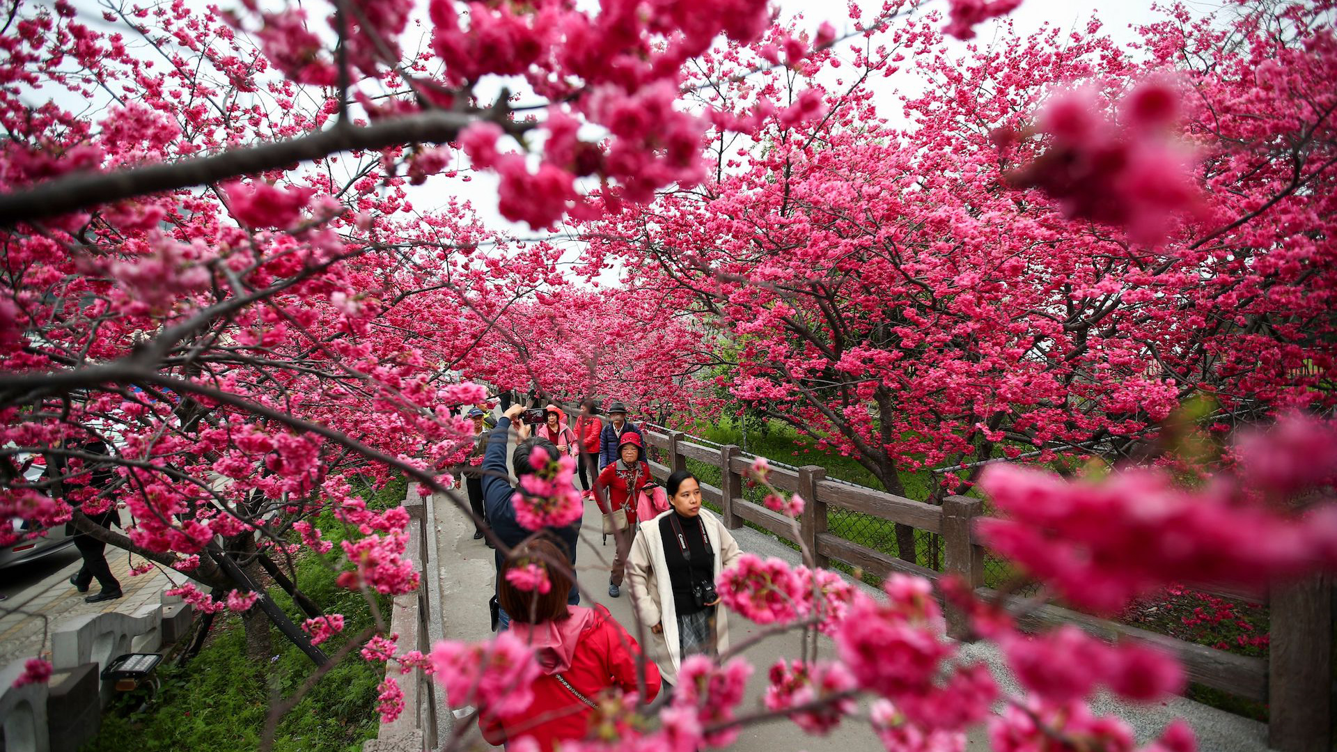 These Are The Peak Bloom Dates For Cherry Blossoms In D C The