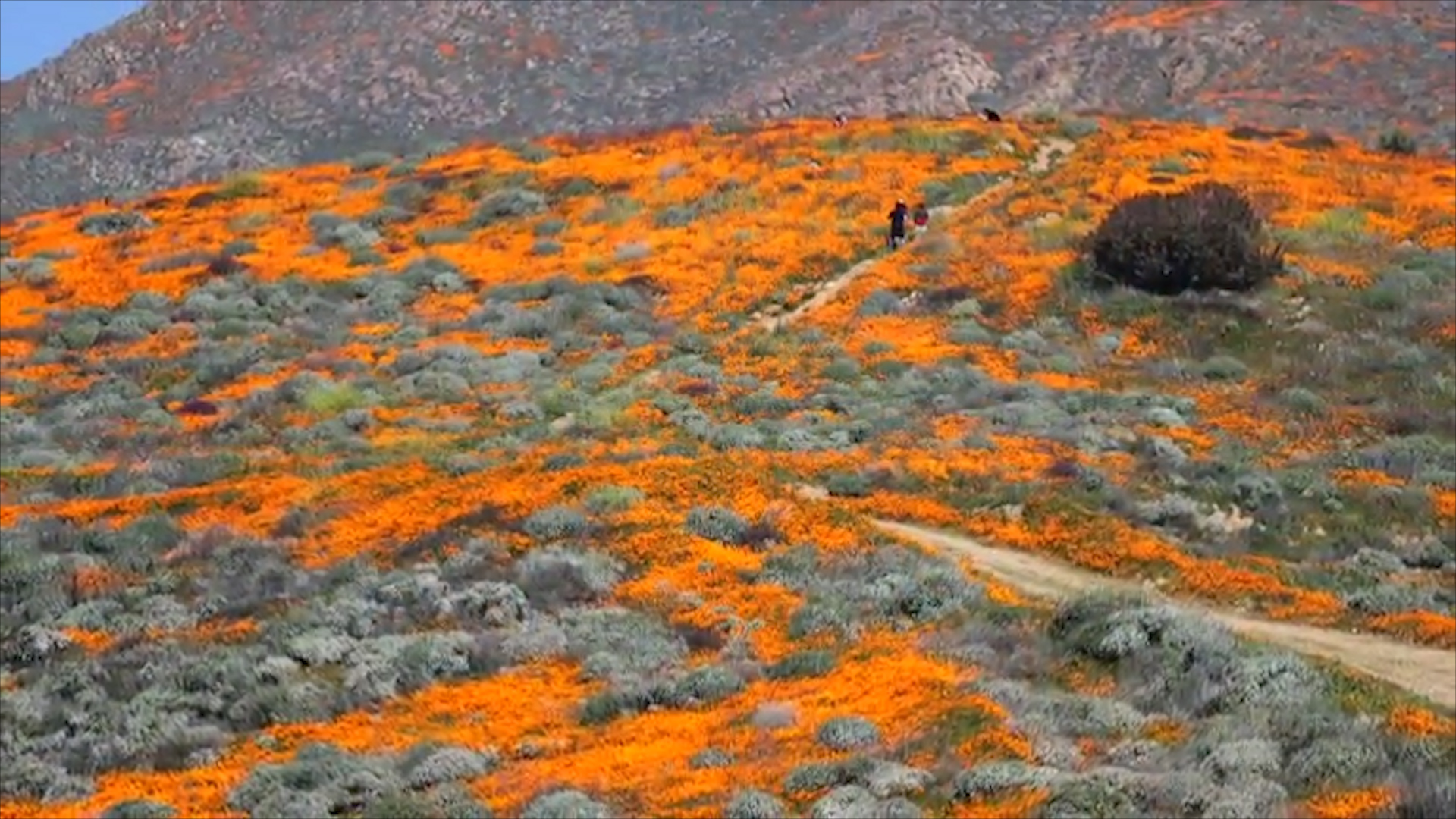 'Super bloom' of wildflowers flourishes in California