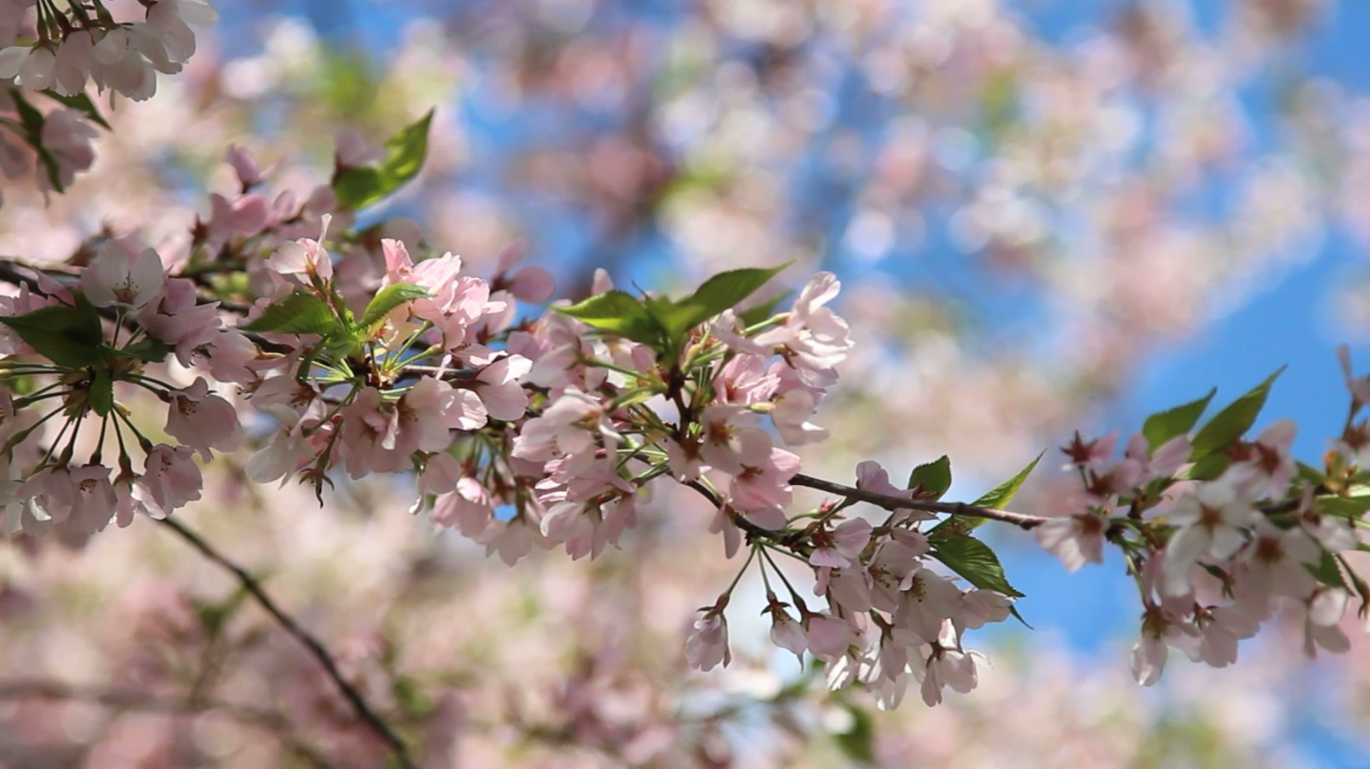 sale retailer ba50a 9789c When will D.C. s cherry blossoms reach peak bloom  It s this man s job to  know. - The Washington Post