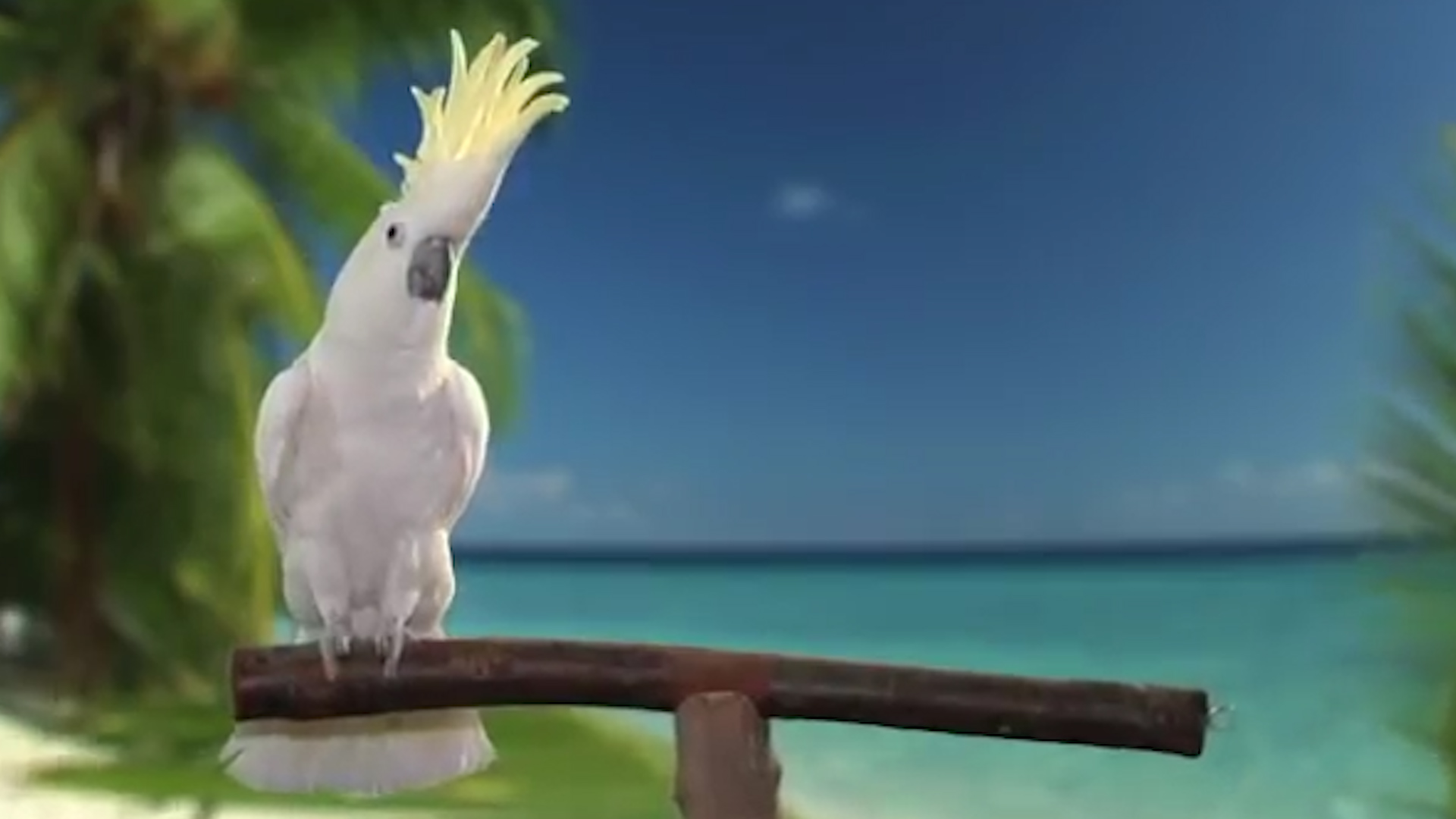 Snowball the cockatoo taught himself 14 dance moves, scientists say