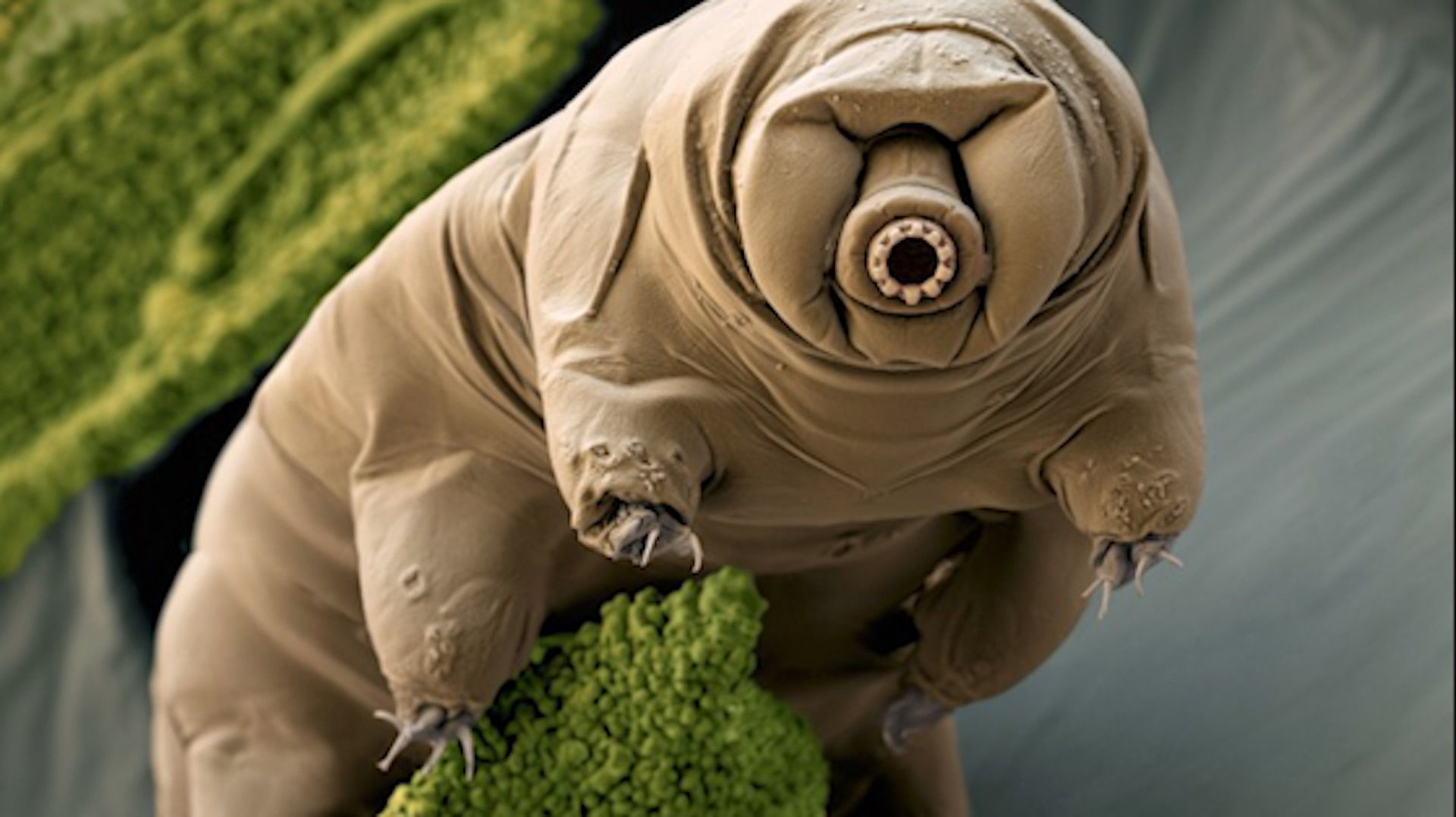 Meet the tardigrade, the animal that will outlive us all