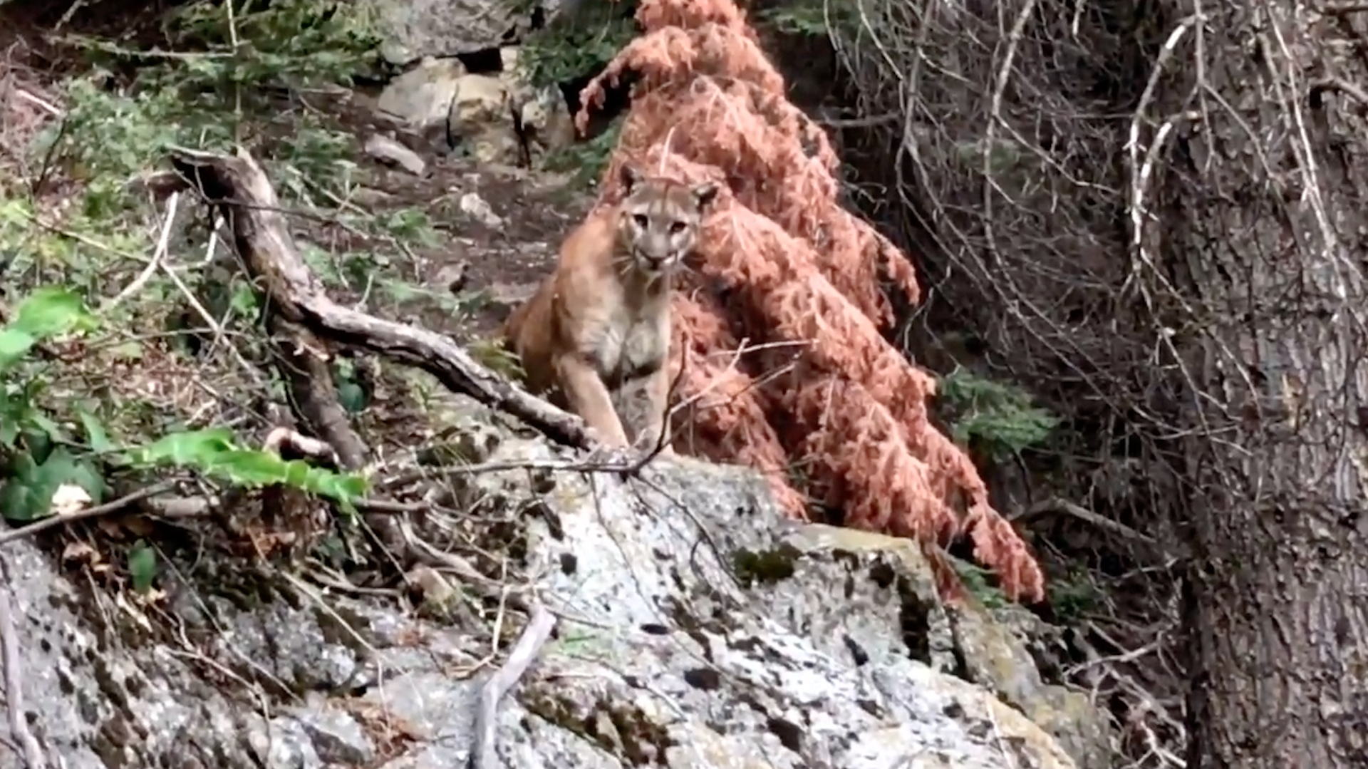 Watch Heart Stopping Encounter Between Hikers And Mountain Lion The Washington Post > how to get os x lion, mountain lion. watch heart stopping encounter between hikers and mountain lion