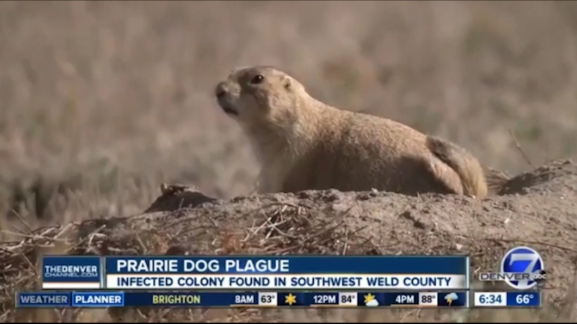 Plague-infected prairie dogs prompt shutdowns near Denver. Fleas can spread it to pets and humans.
