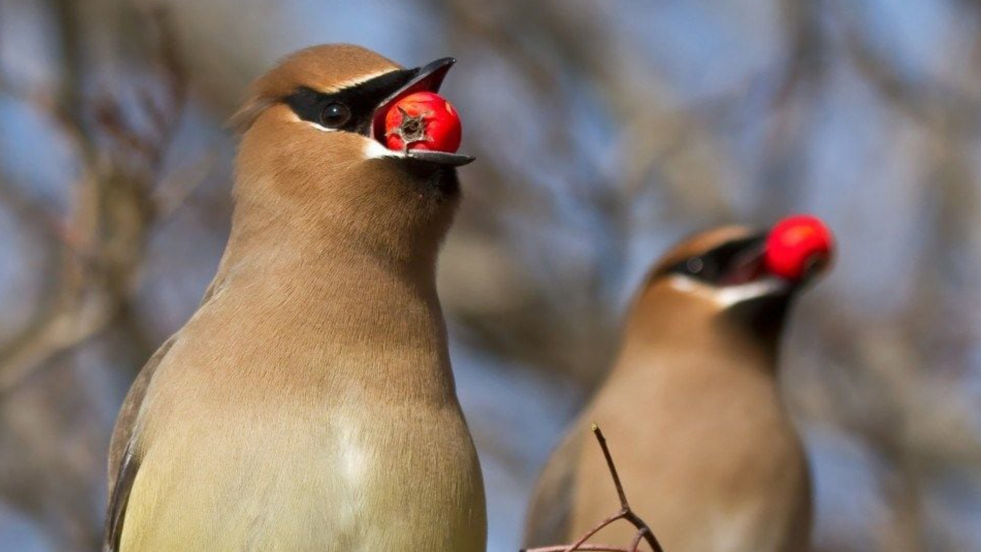 Drunk birds are causing havoc in a Minnesota town. Police say they'll sober up soon.