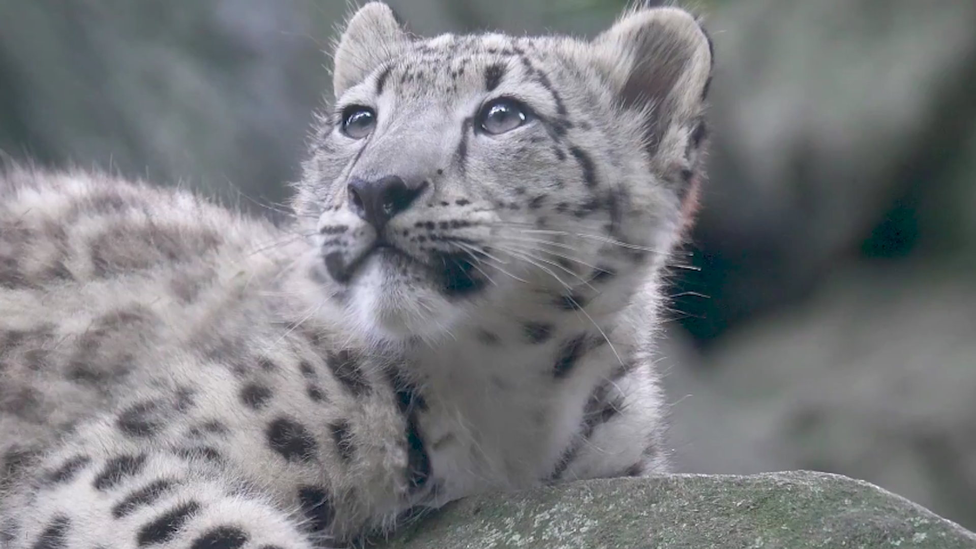 Snow Leopard Cub Makes Public Debut At Bronx Zoo