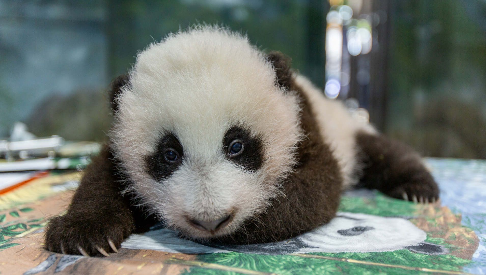 Image result for baby panda in washington dc