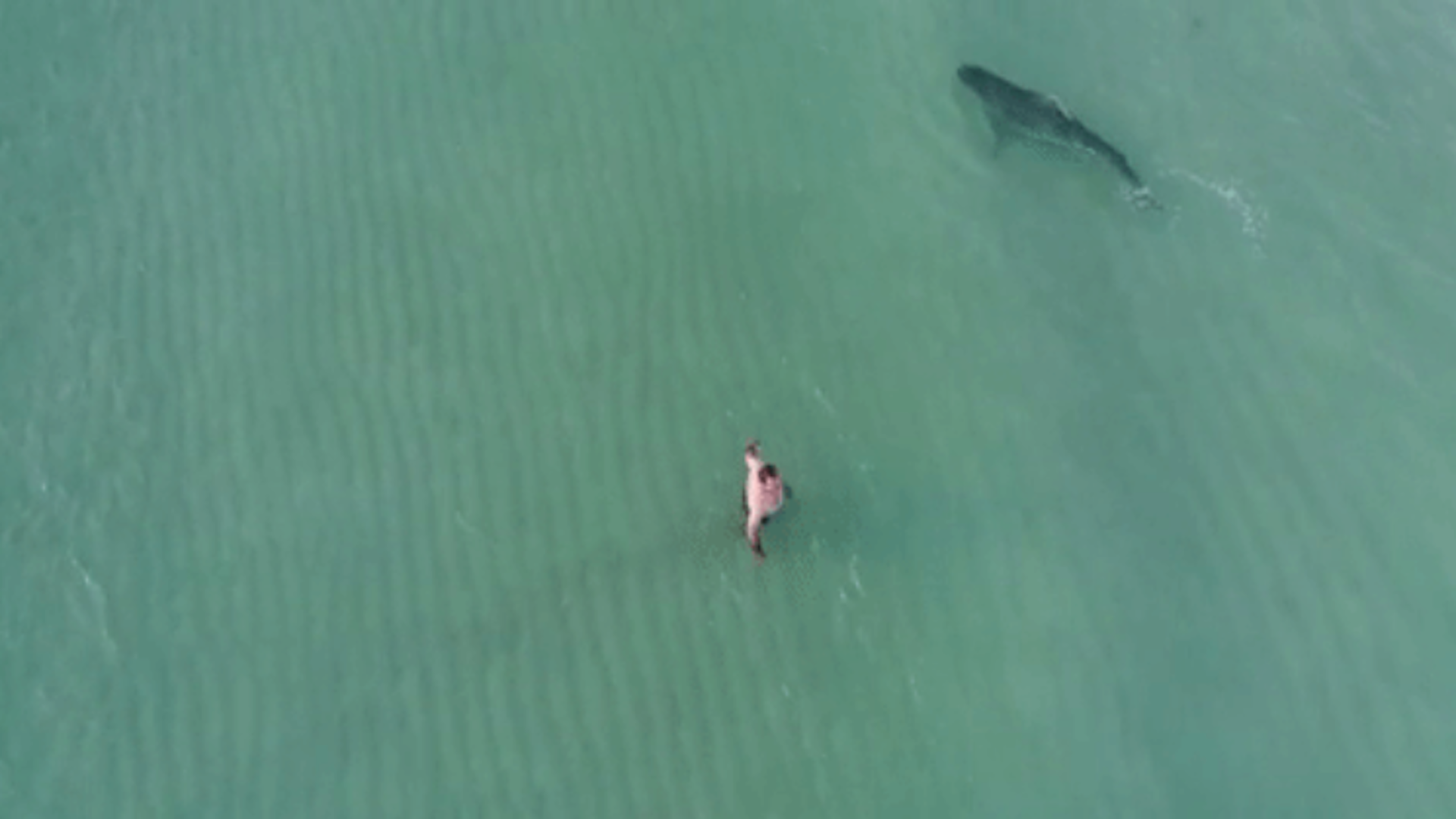 Watch a tiger shark swim near beachgoers in Miami