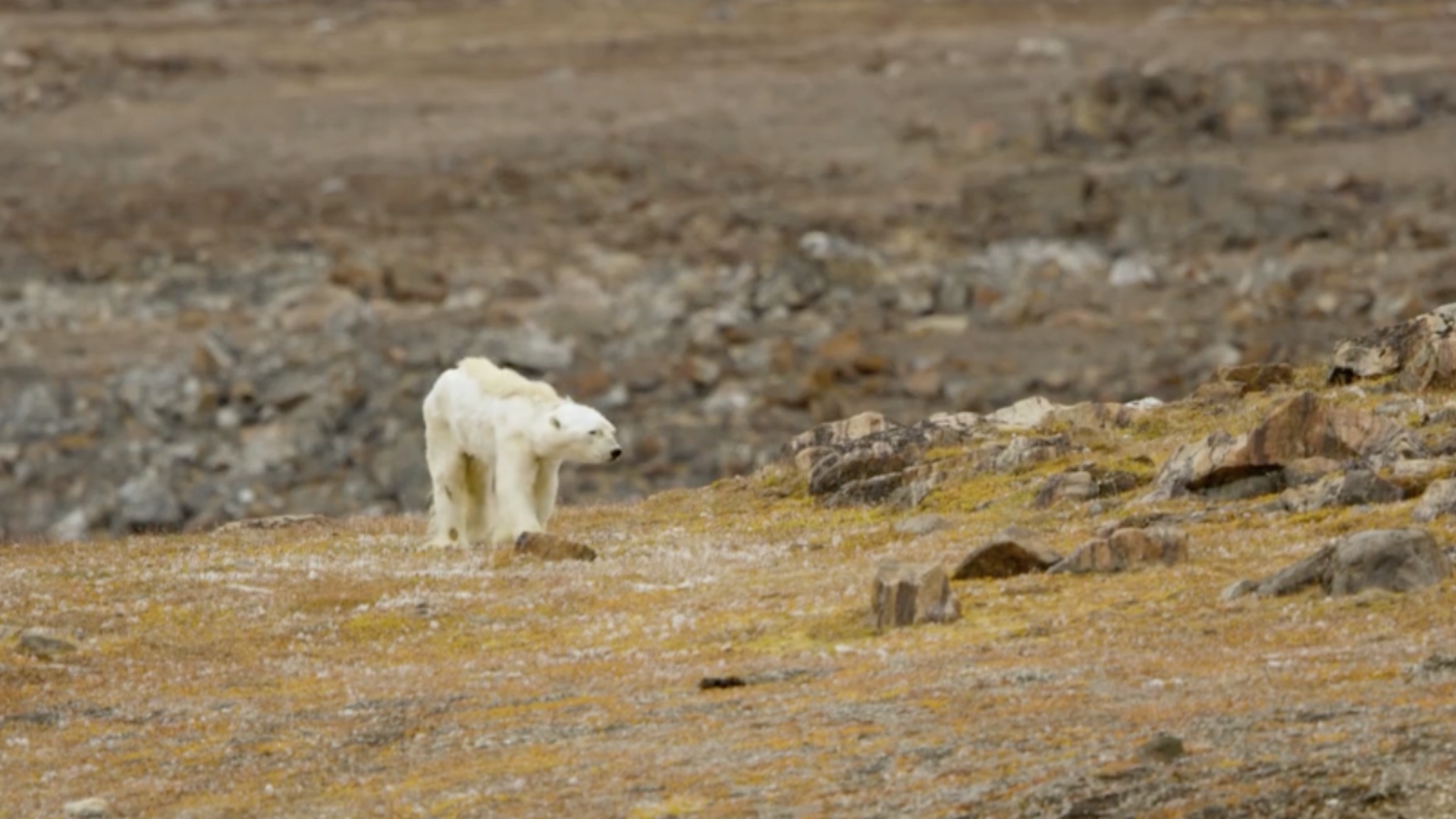 'We stood there crying': Emaciated polar bear seen in 'gut-wrenching' video and photos