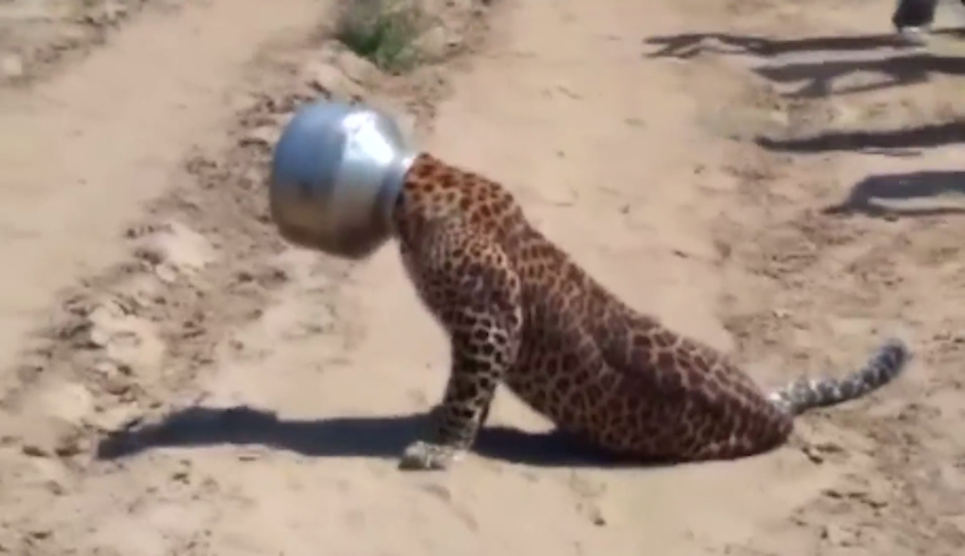 thirsty leopard gets head stuck in pot in india the washington post