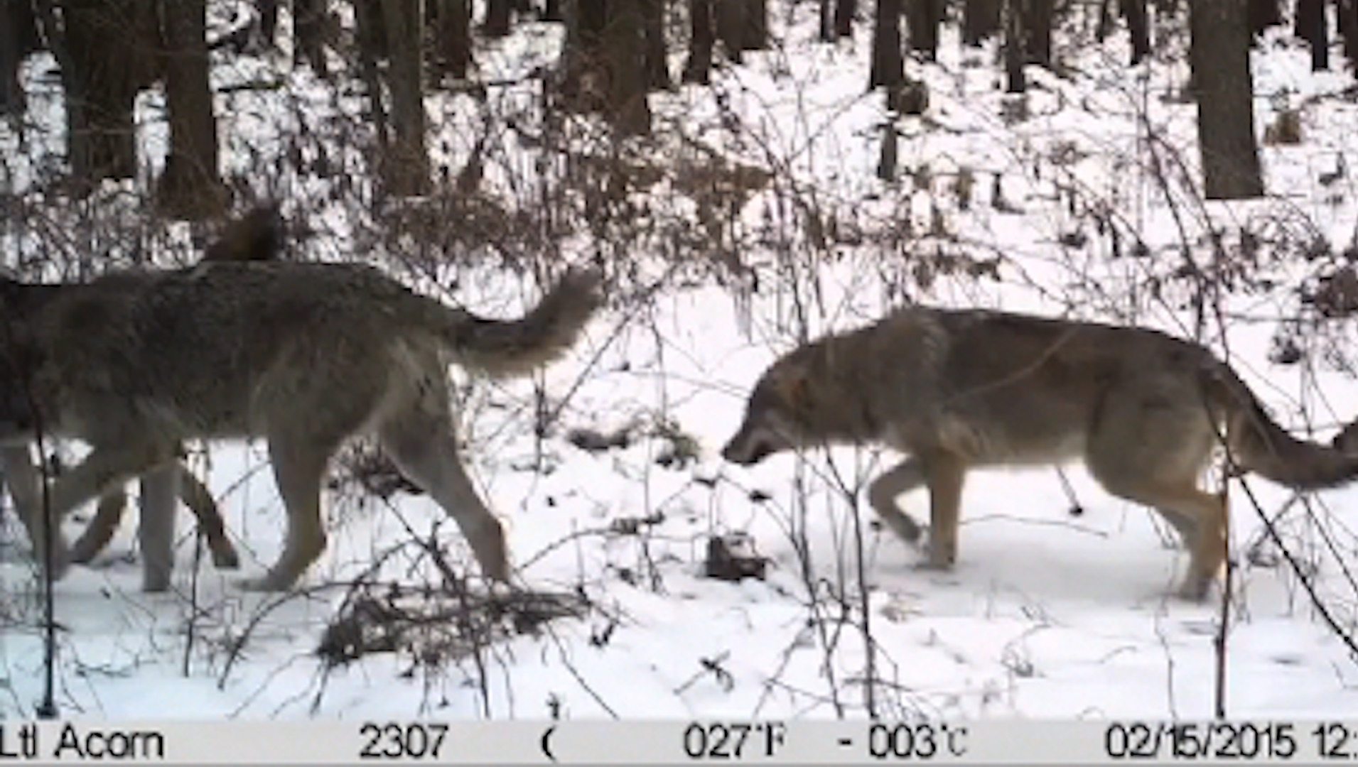 How cameras in the wild have transformed what we know about animals