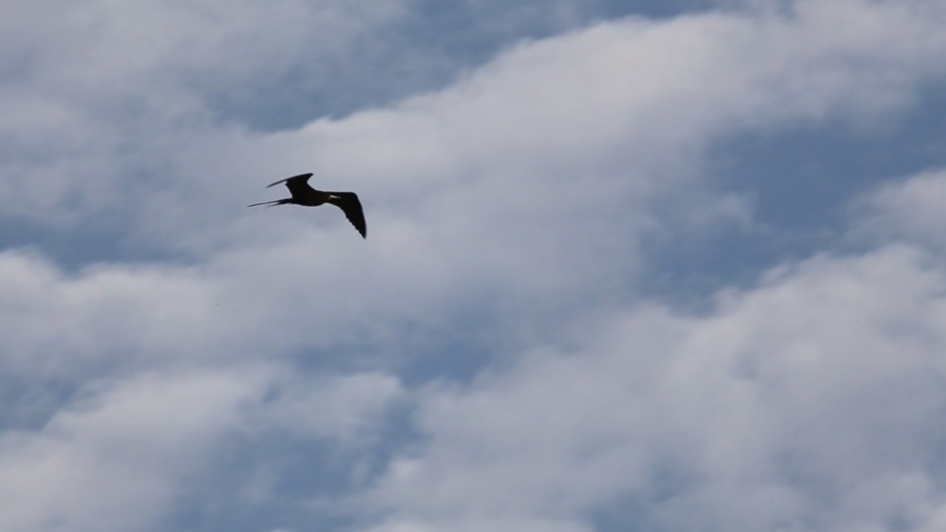 How frigatebirds cross entire oceans without ever needing to rest