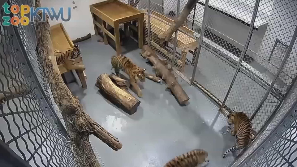 A tiger attacked a keeper at the Topeka Zoo. They were both in the habitat because of 'some sort of error.'